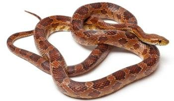 Corn Snakes from LND Exotics
